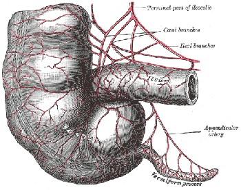 appendix  anatomy