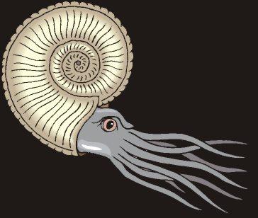 ammonite2